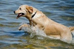 Lily coming out of the water retrieving
