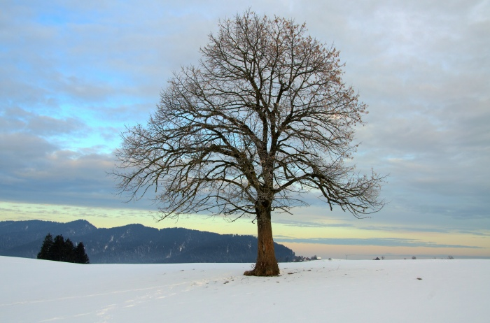 tree on snowy landscape ©Jack H Thompson