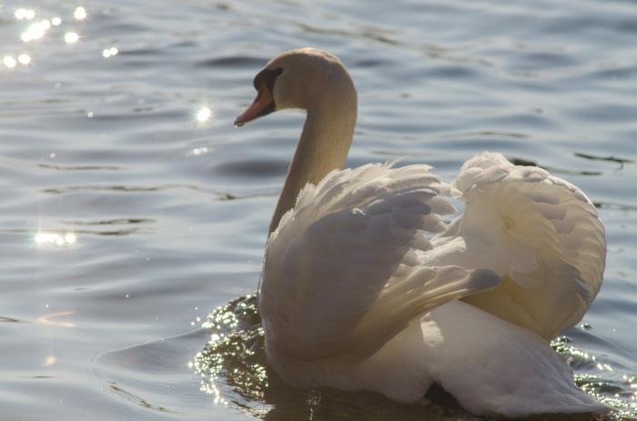 swan in Switzerland ©Jack H Thompson