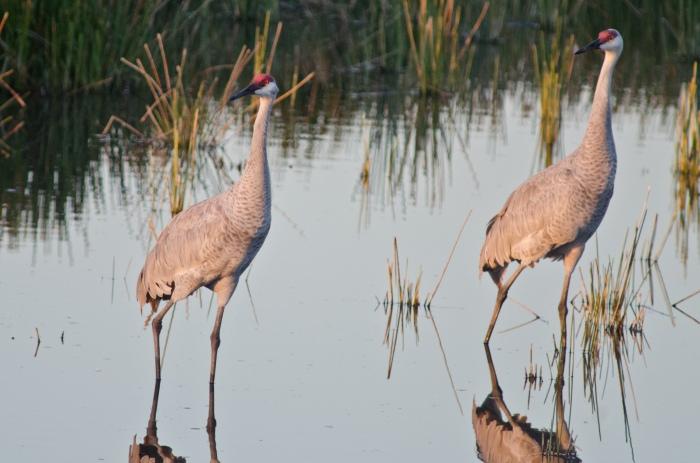Sandhill crane mates © Jack H Thompson