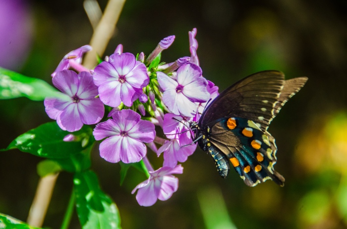 butterfly on flowers, JHT