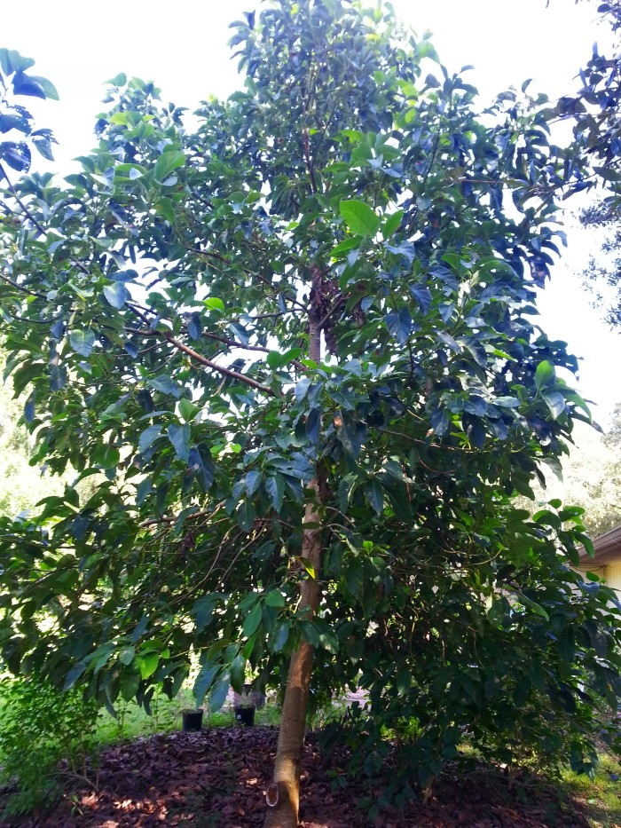 Florida avocado tree grown from seed