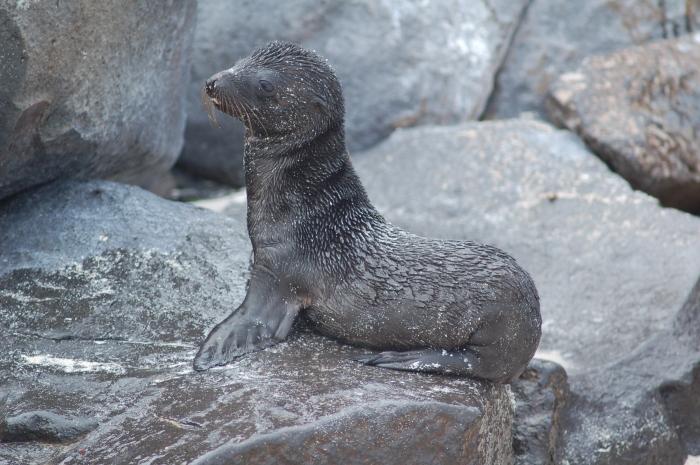 Espanola baby seal