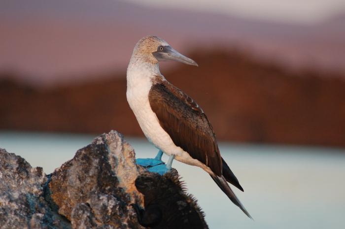 Blue-footed Boobie, Fernandina, Galapagos