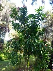 Keitt mango tree grown from seed
