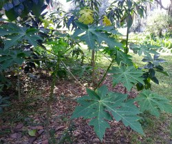 papaya trees grown from seeds