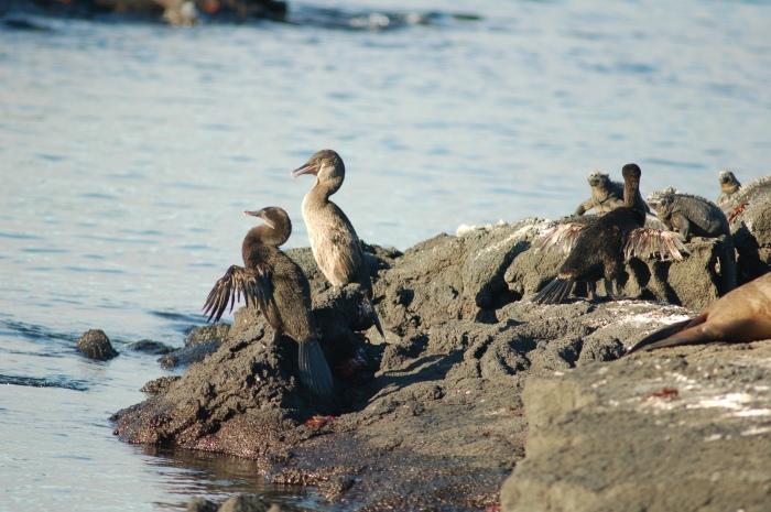 Flightless Cormorant, Galapagos