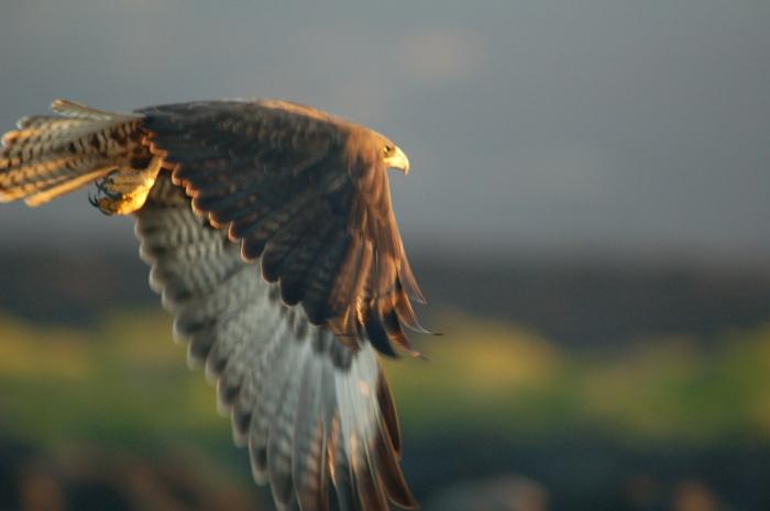 Red Tailed Hawk, Celery Fields, FL