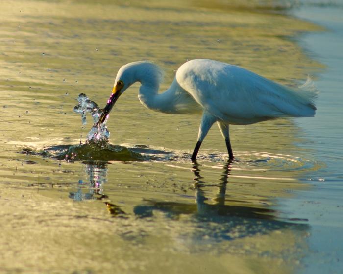 Great Egret, Celery Fields, FL