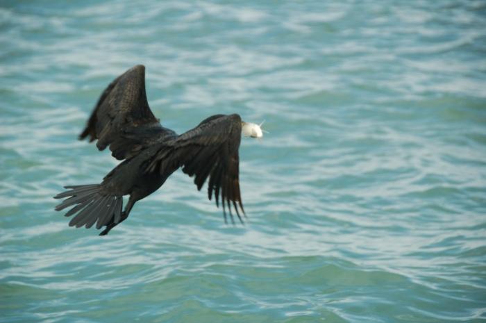 Anhinga with fish, FL