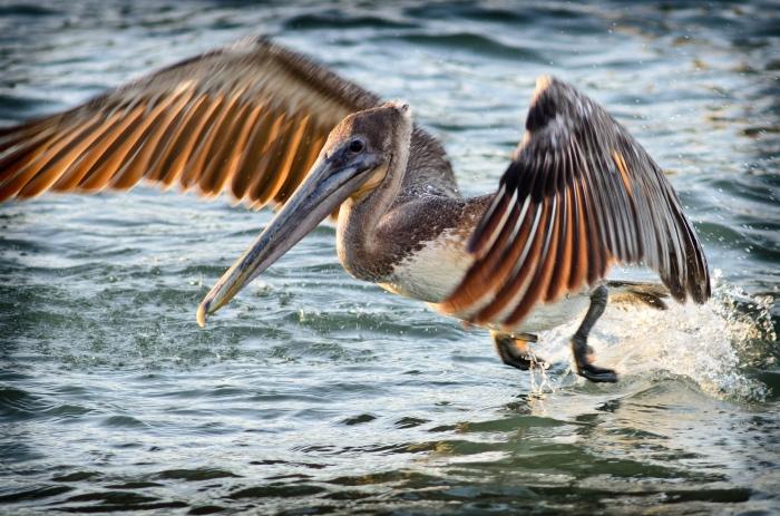 Brown Pelican, Sarasota, FL