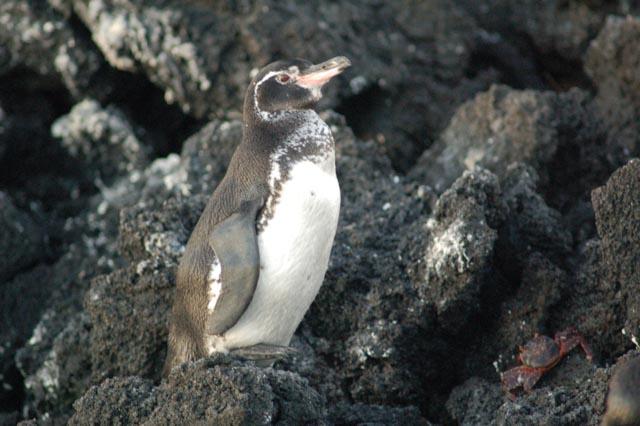 Penguin, Fernandina, Galapagos, JHT