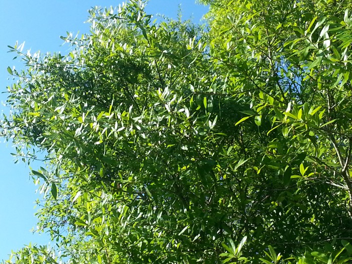 willow oak with new leaves in Spring in Florida