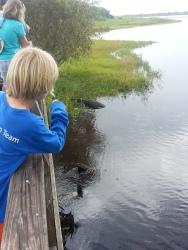 spotting an alligator