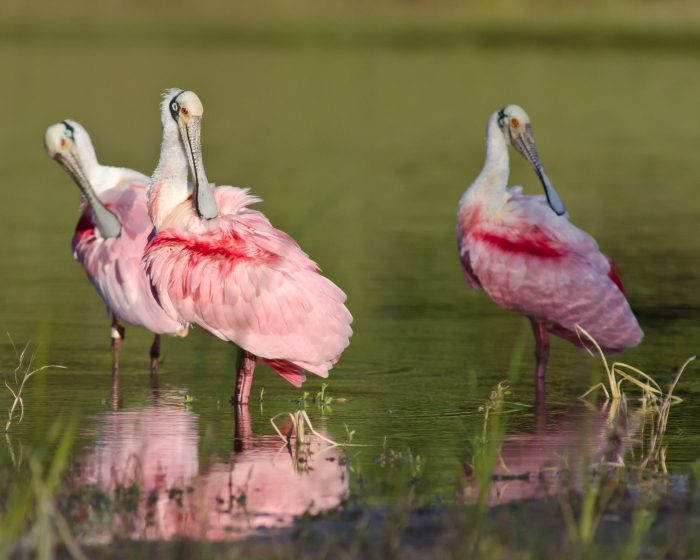 roseate spoonbills by Jack H  Thompson, Jr