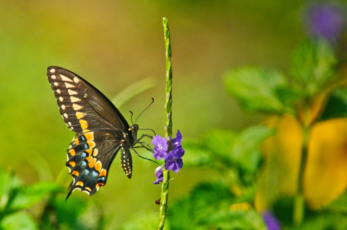 Butterfly on Porterweed flower by Jack H Thompson, Jr