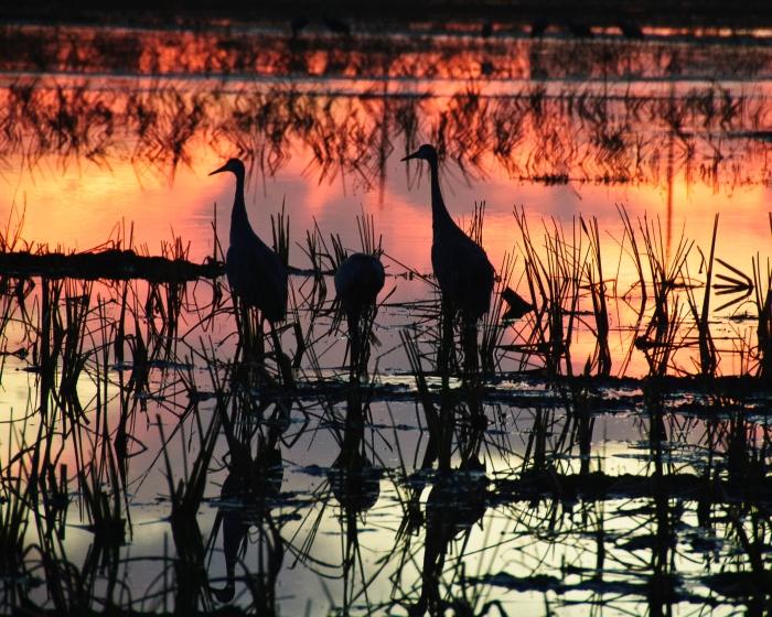 Sandhill cranes in sunset by Jack H Thompson JR