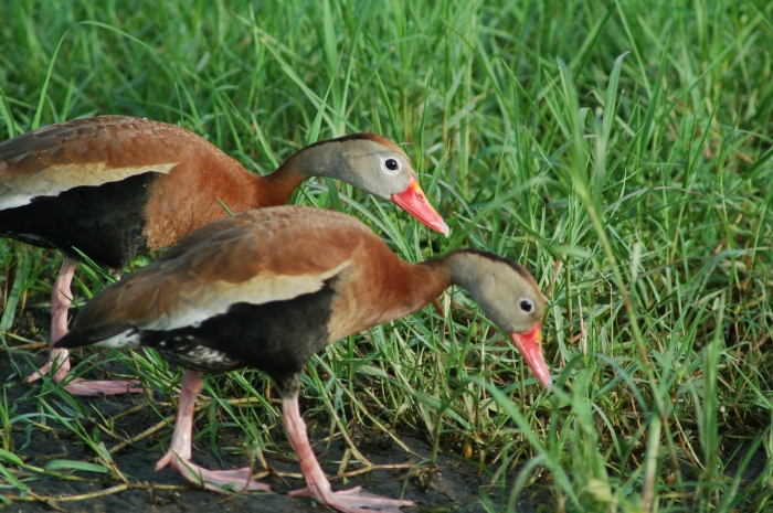 ducks in Celery Fields, Sarasota, FL