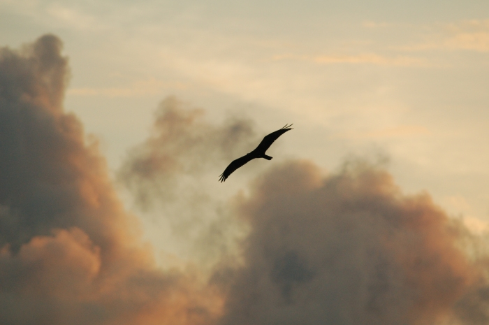 Bird in flight at sunset