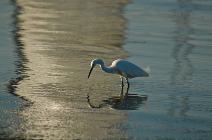 Ibis and reflection by Jack H Thompson Jr